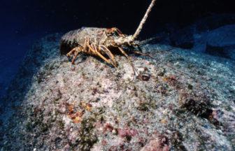 サンセットダイビングでは、甲殻類など夕方にかけて行動する生物が見れるかも